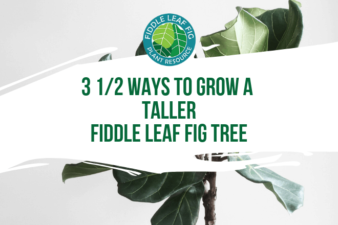 Do you want your fiddle leaf fig tree to grow taller? Click to read 3 1/2 smart and easy ways to grow a taller fiddle leaf fig tree.