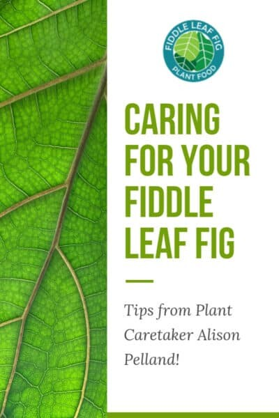 Caring for your Fiddle Leaf Fig