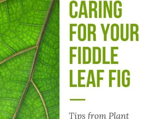 Fiddle Leaf Fig Care Tips from Contest Winner Alison Pelland