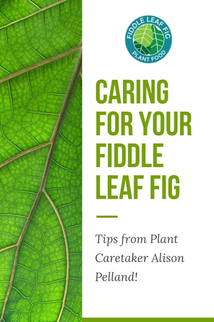 Congratulations to our contest winner Alison Pelland! Click to read fiddle leaf fig care tips from her and how she keeps her fiddle leaf figs healthy. Claire Akin