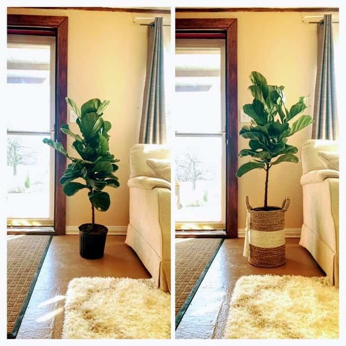 FLF grow taller faster before and after
