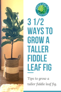 Do you want your fiddle leaf fig tree to grow taller? Click to read 3 1/2 smart and easy ways to grow a taller fiddle leaf fig tree. Claire Akin