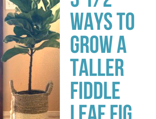 3½ Ways to Grow A Taller Fiddle Leaf Fig Tree