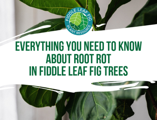 Everything You Need to Know About Root Rot in Fiddle Leaf Figs