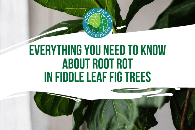 Check out this comprehensive guide everything you need to know about root rot in fiddle leaf figs. Learn how to identify and successfully treat root rot.
