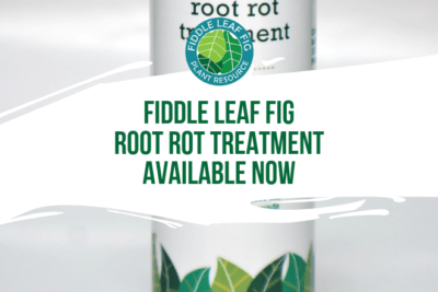 We've been working for a long time to create a safe, gentle treatment to address both fungal and bacterial root rot in fiddle leaf figs.