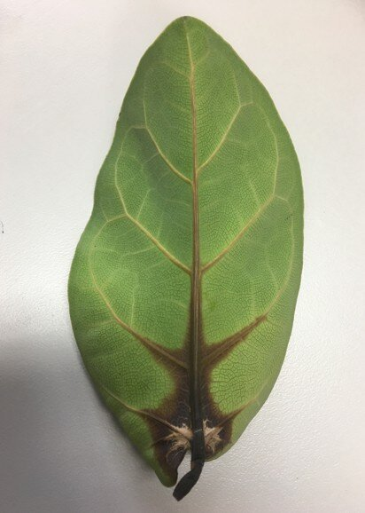 Check out this comprehensive guide everything you need to know about root rot in fiddle leaf figs. Learn how to identify and successfully treat root rot. Claire Akin