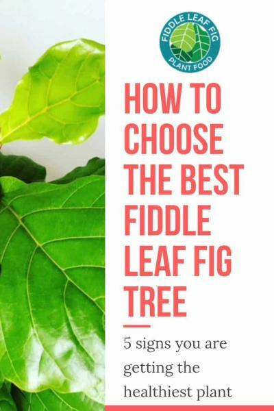 How to Choose the Best Fiddle Leaf Fig Tree in Sto