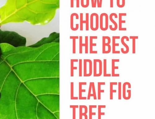 How to Shop for a Fiddle Leaf Fig Tree in Store or Online (And Choose a Healthy Plant)