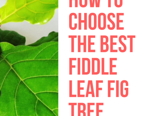 How to Choose the Best Fiddle Leaf Fig Tree in Store or Online