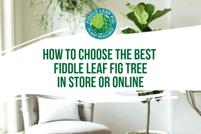 There are a few things to look for to avoid a sick plant and protect your investment. Before you shop for a fiddle leaf fig, do your research.