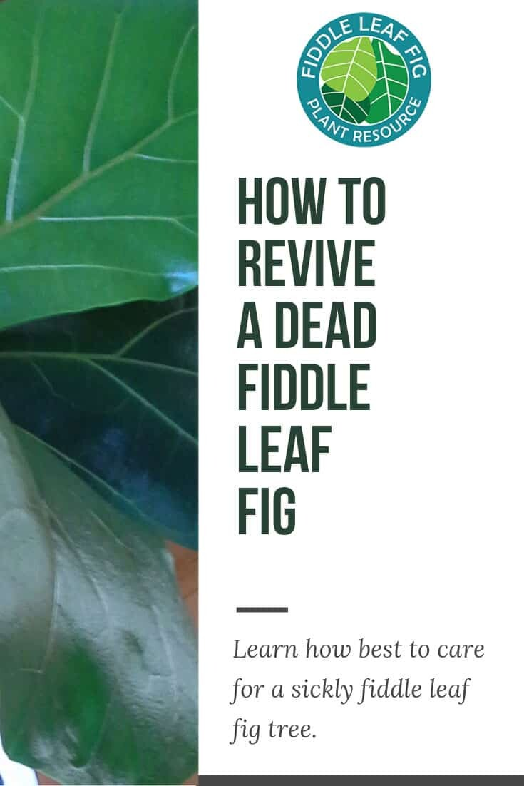 How to Revive a Dead Fiddle Leaf