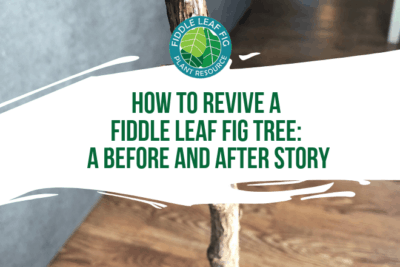 Read a story about how you can revive a dead fiddle leaf fig tree. If your fiddle leaf fig is not doing well, click to learn how you can help your plant.