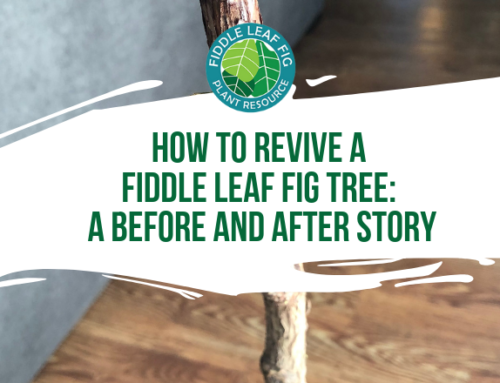 A Fiddley Rescue: How to Revive a Dead Fiddle Leaf Fig