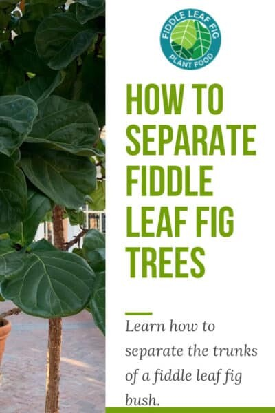 How to Separate Fiddle Leaf Fig Trees
