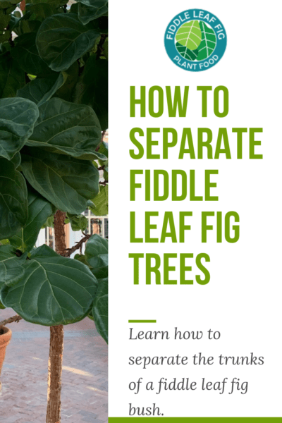 Want to grow a single stalk fiddle leaf fig? Click to watch a video on how to separate fiddle leaf fig trees to grow the desired single stalk look.
