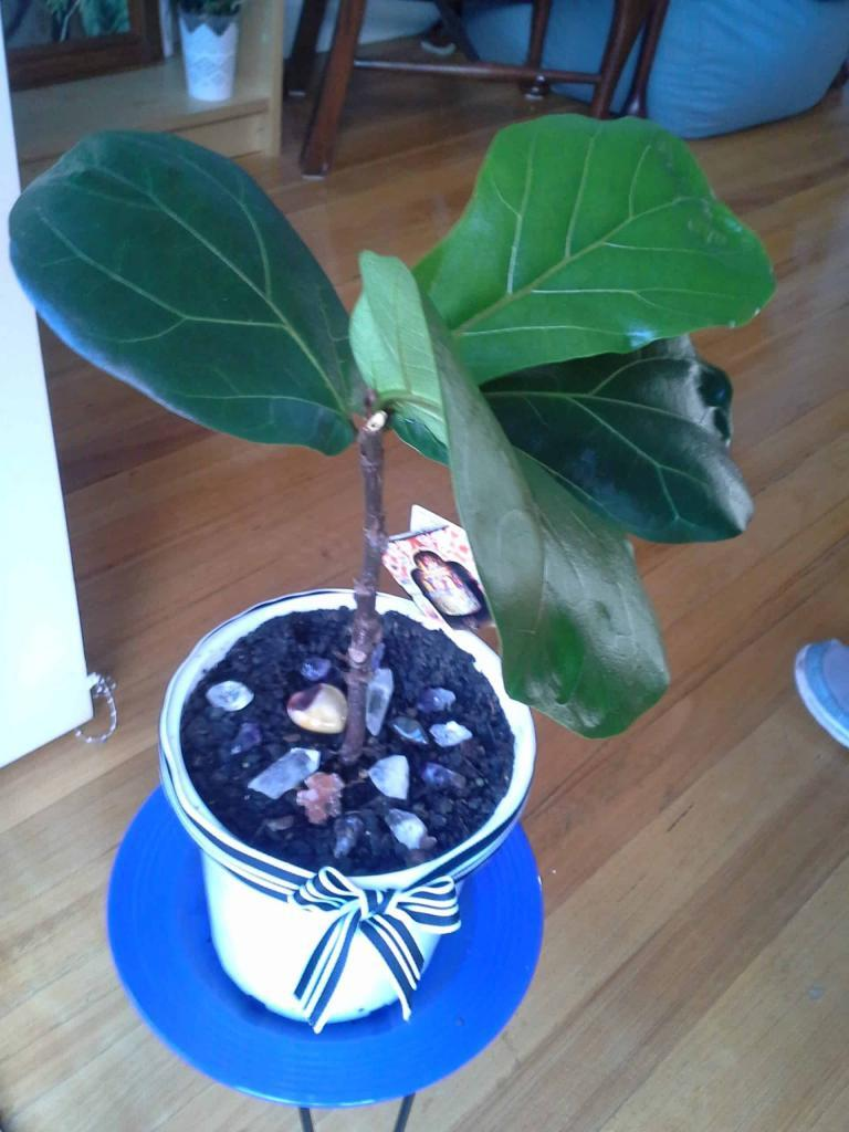 Read a story about how you can revive a dead fiddle leaf fig tree. If your fiddle leaf fig is not doing well, click to learn how you can help your plant. Claire Akin