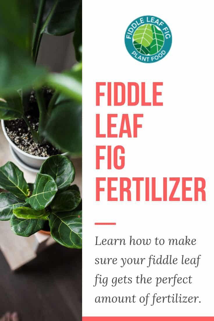 Fertilizer for your Fiddle Leaf Fig