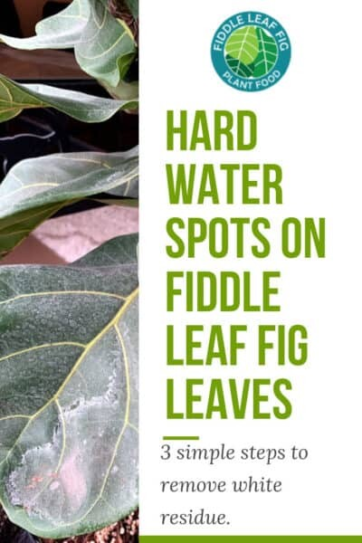 Hard Water Spots On Fiddle Leaf Fig Leaves