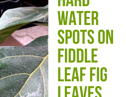 Hard Water Spots On Fiddle Leaf Fig Leaves: 3 Simple Steps for Removing White Residue