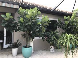 fiddle fig leaf outdoors growing trees kathleen