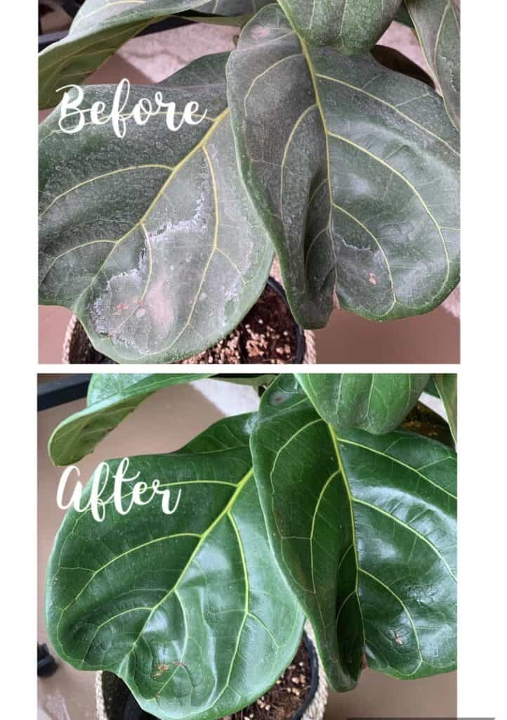 Do you have hard water spots on fiddle leaf fig leaves? Click to read the 3 simple steps for removing white residue on your fiddle leaf fig plant