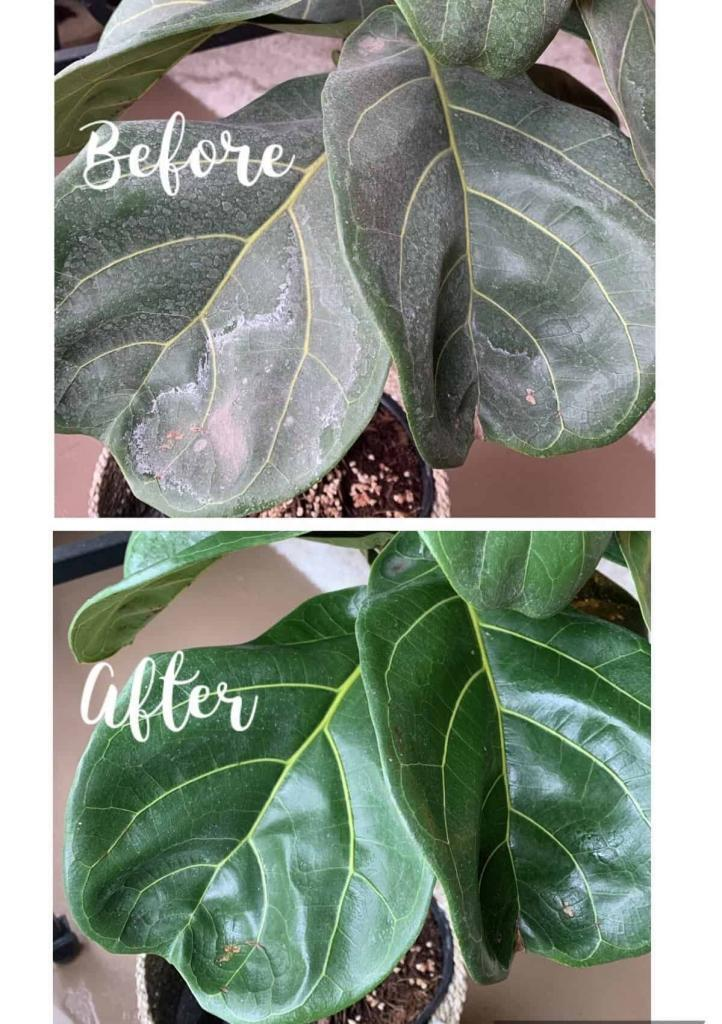 Do you have hard water spots on fiddle leaf fig leaves? Click to read the 3 simple steps for removing white residue on your fiddle leaf fig plant.