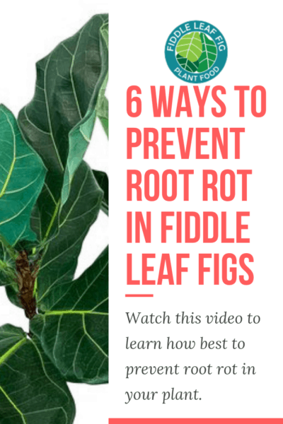 6 Ways to Prevent Root Rot in Fiddle Leaf Fig Plants