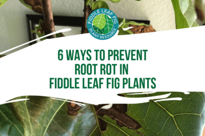 Learn the 6 ways to prevent root rot in fiddle leaf fig plants. Click to learn more about root rot and what you can do to keep your fiddle leaf fig healthy.