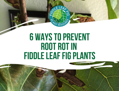 6 Ways to Prevent Root Rot in Fiddle Leaf Fig Plants (Video)