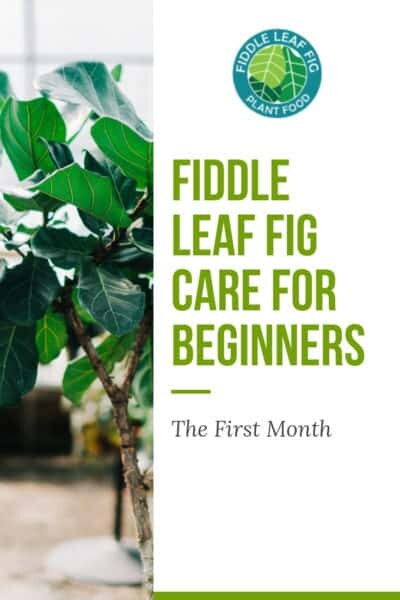 Fiddle Leaf Fig Care for Beginners: The First Month