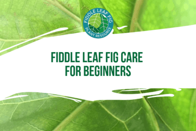 So you bought your first fiddle leaf fig. Now what? Here's our super quick guide to fiddle leaf fig care in the first few weeks after you bring it home.