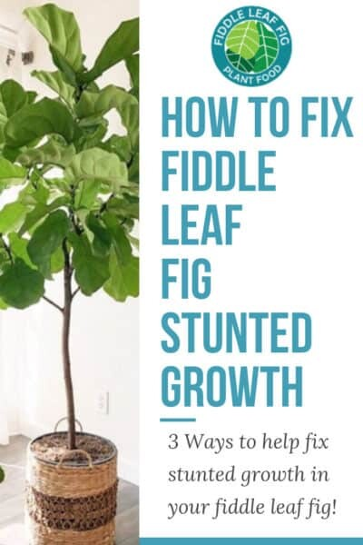 Fiddle Leaf Fig Stunted Growth