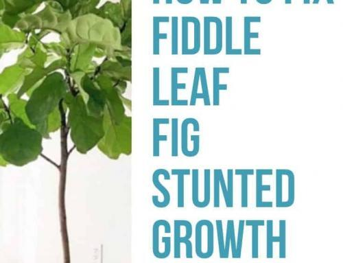 How to Fix Fiddle Leaf Fig Stunted Growth