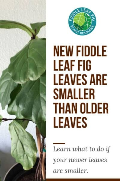 Fiddle leaf fig new leaves smaller than old leaves
