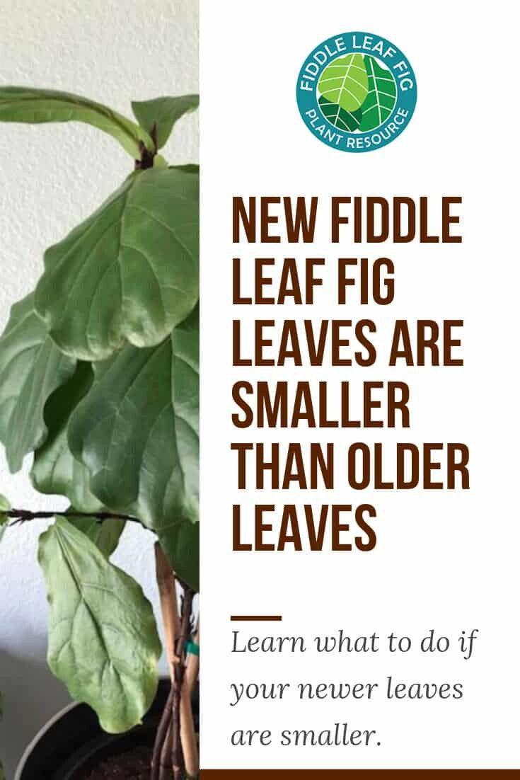 Fiddle leaf fig new leaves smaller than old leaves