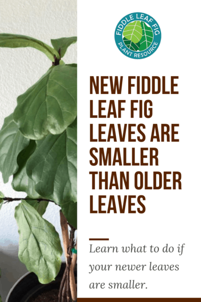 Wondering what you can do if your new fiddle leaf fig leaves are smaller than older leaves? Click to learn the 4 things you can do to remedy this issue. Claire Akin