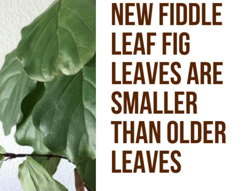 What to Do if Your New Fiddle Leaf Fig Leaves are Smaller than Older Leaves