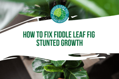 Learn the 3 ways how to fix fiddle leaf fig stunted growth. Learn how best to encourage your fiddle leaf fig to grow and sprout new leaves.