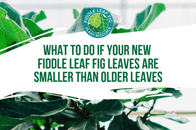 Wondering what you can do if your new fiddle leaf fig leaves are smaller than older leaves? Click to learn the 4 things you can do to remedy this issue.