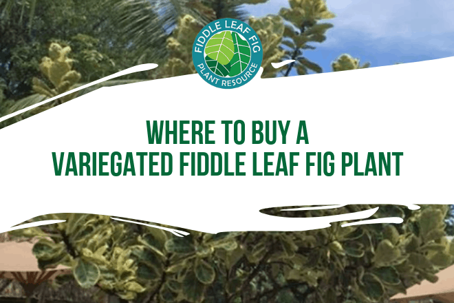 Wondering where to buy a variegated fiddle leaf fig? Click to learn more about these unique fiddle leaf fig plants and where to find them.
