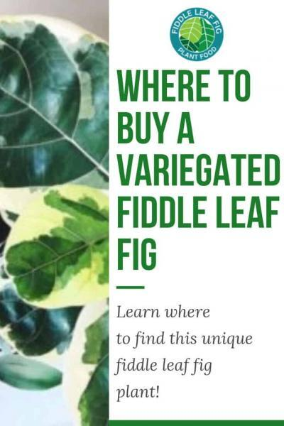 Where to Buy a Variegated Fiddle Leaf Fig