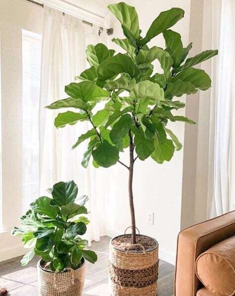 Learn the 3 ways how to fix fiddle leaf fig stunted growth. Learn how best to encourage your fiddle leaf fig to grow and sprout new leaves
