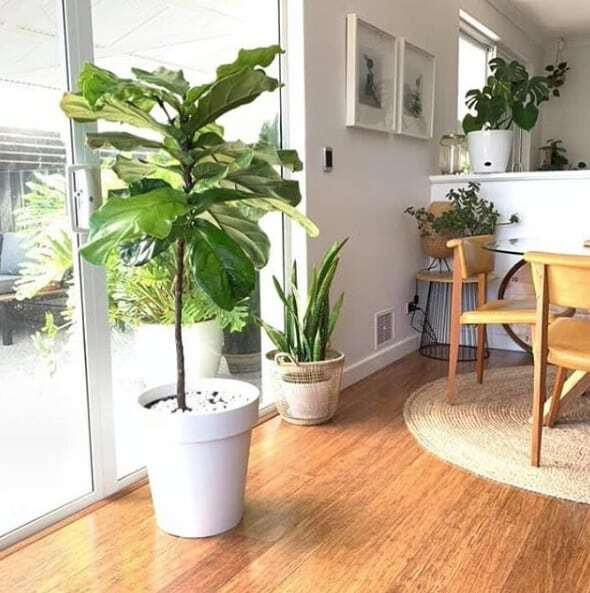 Learn the 3 ways how to fix fiddle leaf fig stunted growth. Learn how best to encourage your fiddle leaf fig to grow and sprout new leaves. Claire Akin