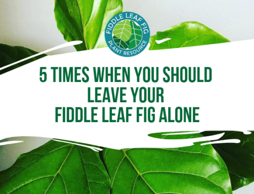 Stop Fiddling! 5 Times When You Should Leave Your Fiddle Leaf Fig Alone
