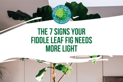 Grow a healthy fiddle leaf fig and learn the seven signs your fiddle leaf fig needs more light. Read how to remedy your light situation with your plant.