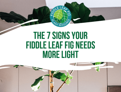 The 7 Signs Your Fiddle Leaf Fig Needs More Light