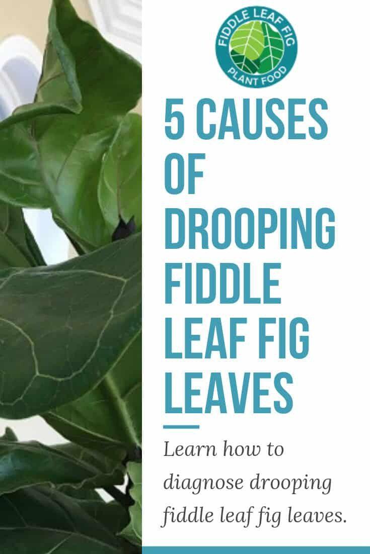 Drooping Fiddle Leaf Fig Leaves