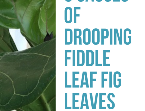 Drooping Fiddle Leaf Fig Leaves: 5 Causes and How to Diagnose
