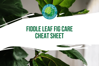 Click to view and download the fiddle leaf fig care cheat sheet. Learn all the basic care instructions for your fiddle leaf fig plant.